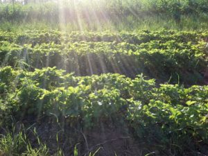Suns rays over strawberry field
